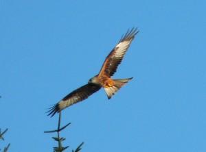 Red Kite at Nant yr Arian